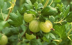 Amalaki Ekadashi in 2017 is a very special day for Indian gooseberries that are also known as Amla.